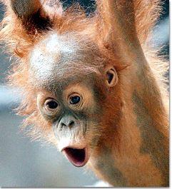 """Affenforscher beobachten Orang-Utan-Baby """"Kila"""""""